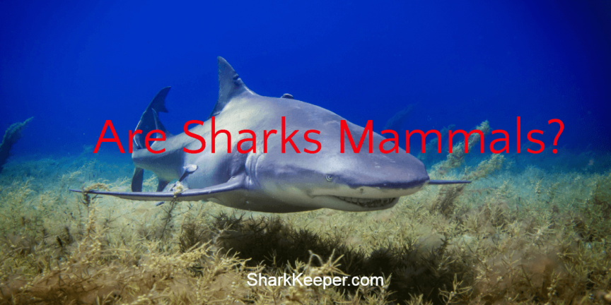 Are Sharks Mammals