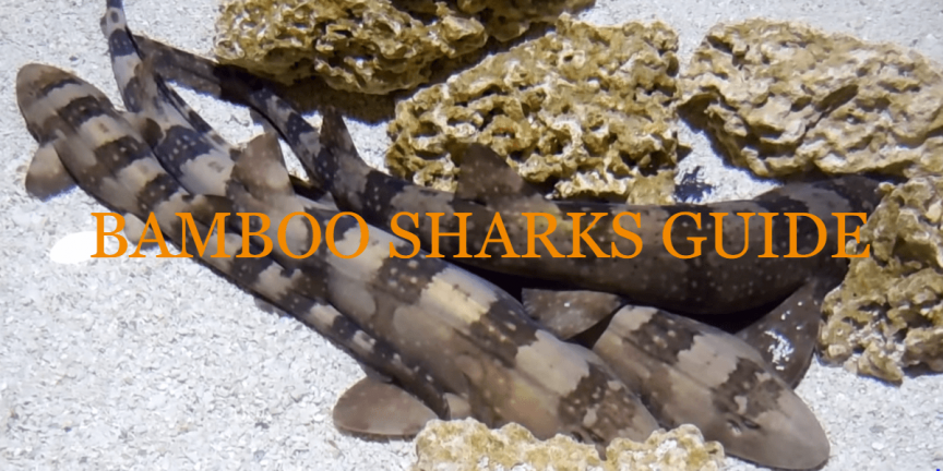 BAMBOO SHARKS GUIDE - Species, Features, Facts, and Care