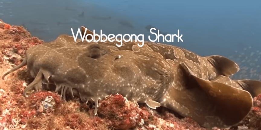 Wobbegong Shark