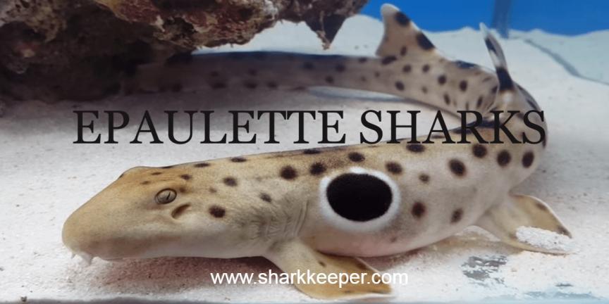 epaulettes shark