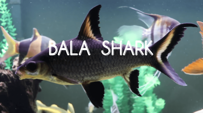 BALA SHARK - Guide to Caring for Your Aquarium Special