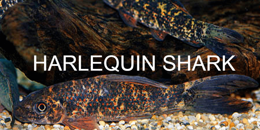HARLEQUIN SHARK - Aquarium Advice and Care Sheet