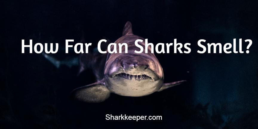 How Far Can Sharks Smell?