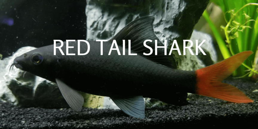 RED TAIL SHARK Featured