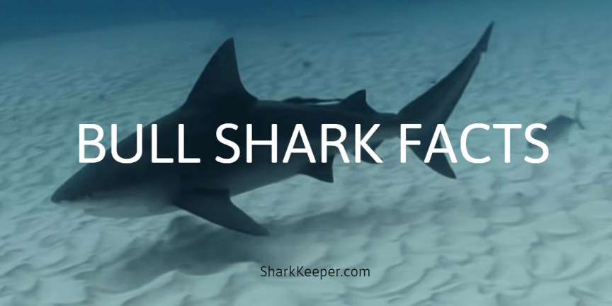BULL SHARK FACTS - Information and Features