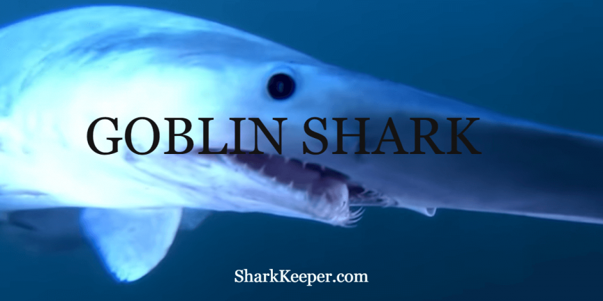 GOBLIN SHARK - Facts About This Mysterious Species