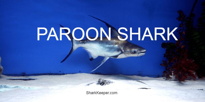 PAROON SHARK - Features and Aquarium Advice