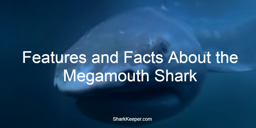 Features and Facts About the Megamouth Shark