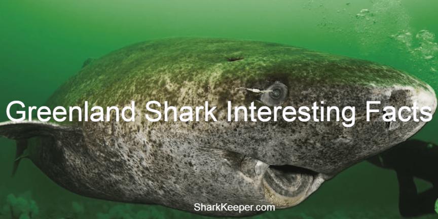Greenland Shark Interesting Facts