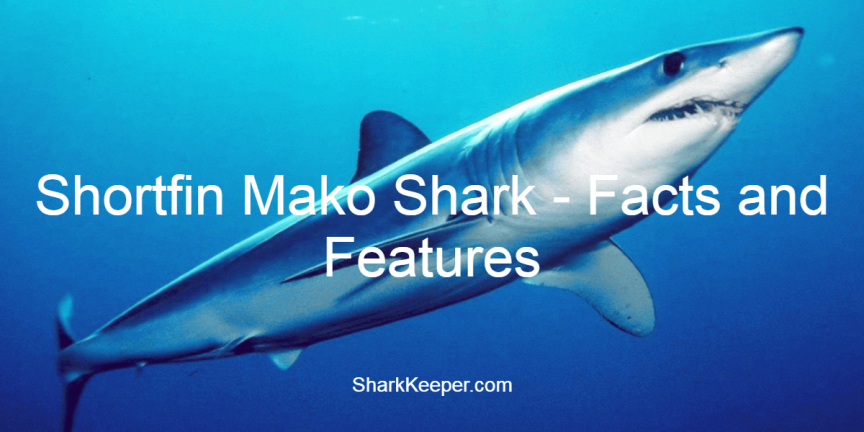 Shortfin Mako Shark - Facts and Features