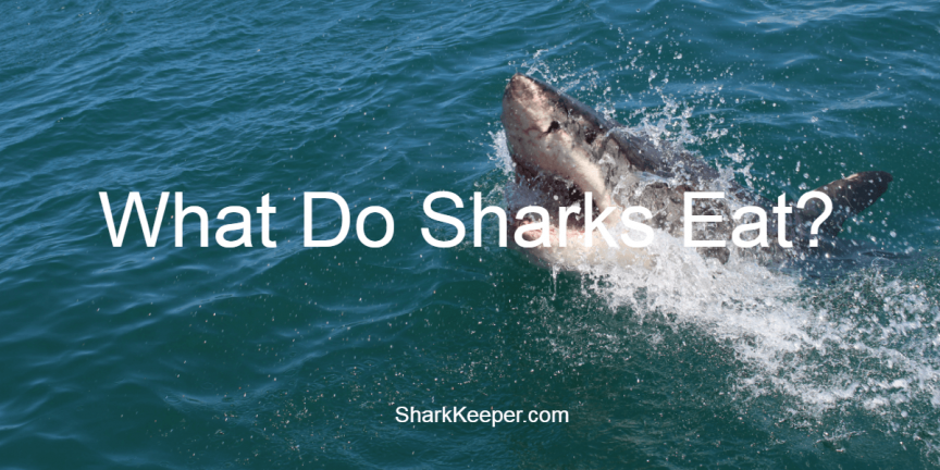 What Do Sharks Eat?