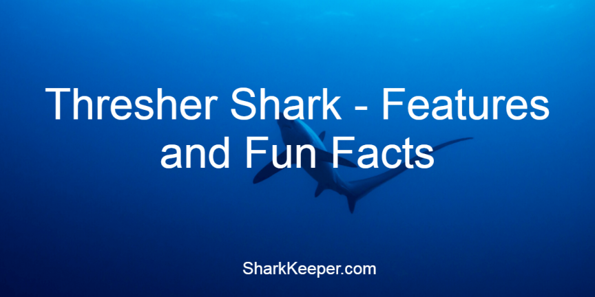 Thresher Shark - Features and Fun Facts