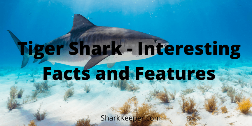 Tiger Shark - Interesting Facts and Features