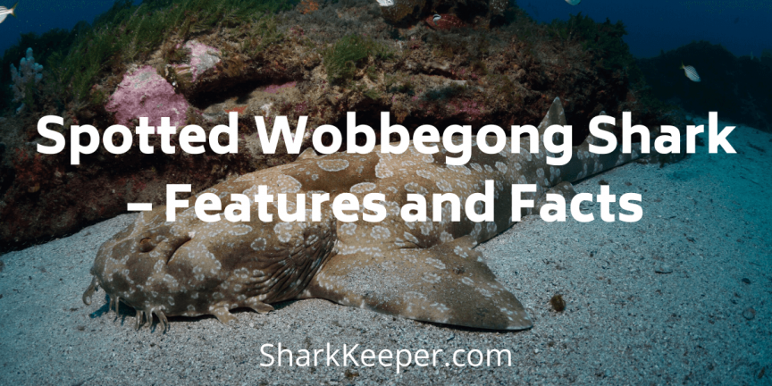 Spotted Wobbegong Shark – Features and Facts