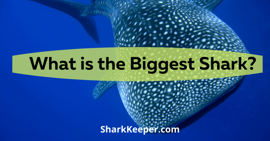 What is the Biggest Shark