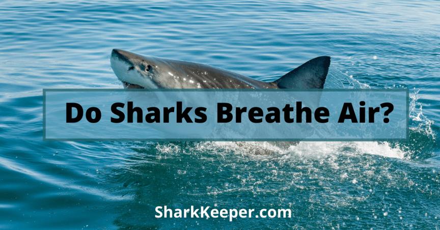 Do Sharks Breathe Air