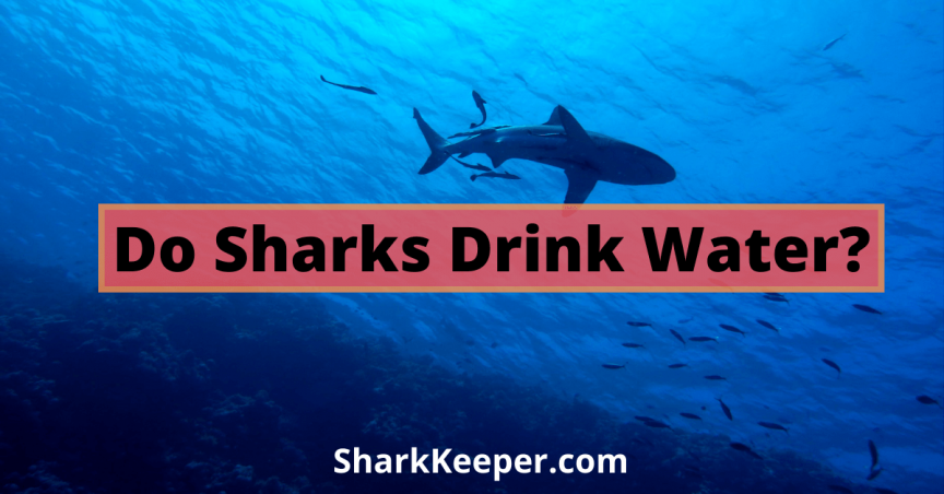 Do Sharks Drink Water
