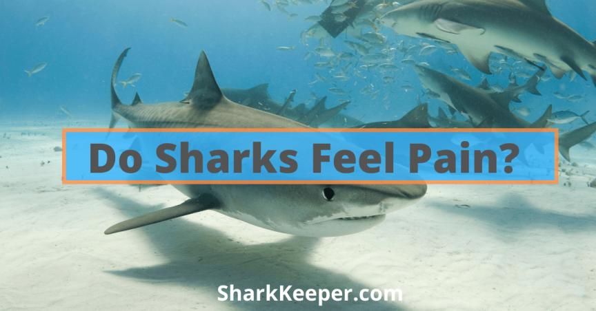 Do Sharks Feel Pain