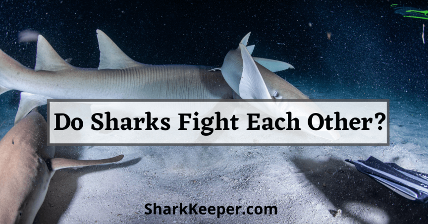 Do Sharks Fight Each Other 2