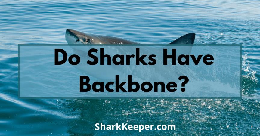 http://sharkkeeper.com/wp-content/uploads/2020/11/Do-Sharks-Have-Backbone.png