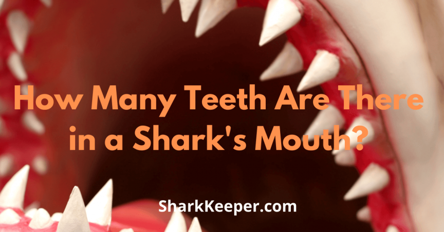 How Many Teeth Are There in a Shark's Mouth