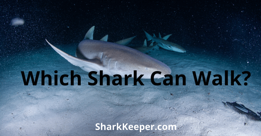Which Shark Can Walk
