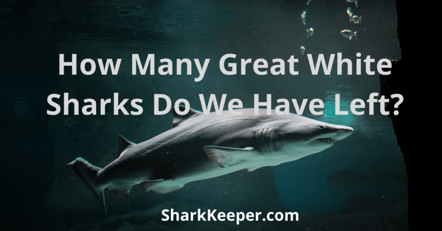 How Many Great White Sharks Do We Have Left