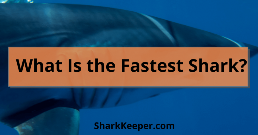 What Is the Fastest Shark