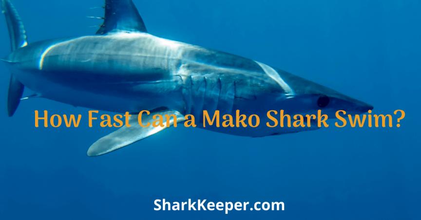 How Fast Can a Mako Shark Swim?