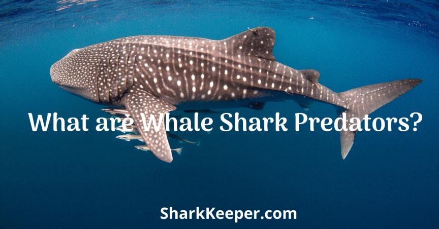 What are Whale Shark Predators