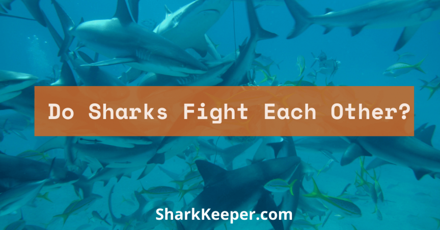 Do Sharks Fight Each Other