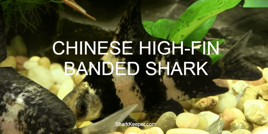 CHINESE HIGH-FIN BANDED SHARK - A Complete Guide to Shark Keepers