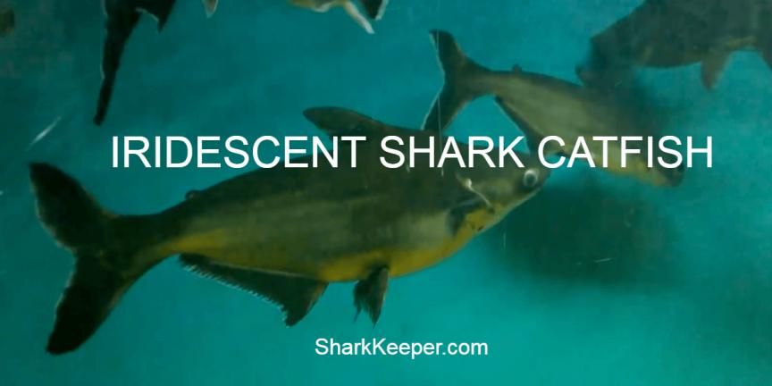 IRIDESCENT SHARK CATFISH - Description and Aquarium Care