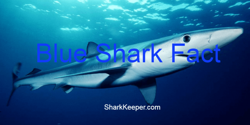BLUE SHARK FACTS - Amazing Features You Should Know