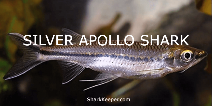 SILVER APOLLO SHARK - Complete Aquarium Guide