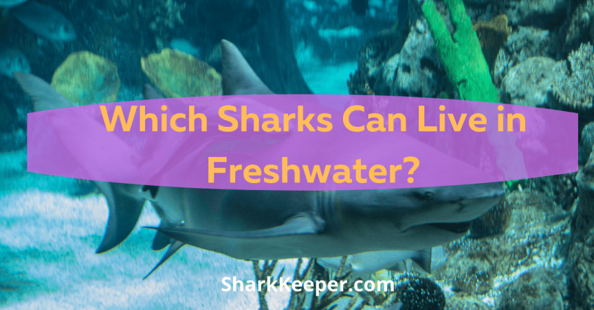Which Sharks Can Live in Freshwater