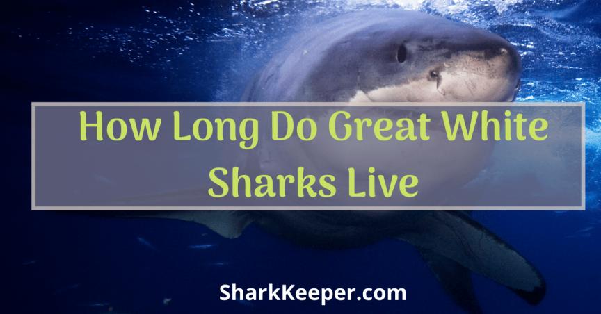 How Long Do Great White Sharks Live